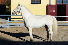 Lipizzaner stallion Stock Photo