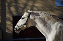 Lipizzaner stallion Royalty Free Stock Image