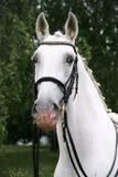 Lipizzaner stallion with braided mane on beautiful animal farm s Stock Photos
