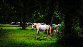 Lipizzaner white horse Royalty Free Stock Images