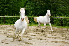 Lipizzaners Royalty Free Stock Photos