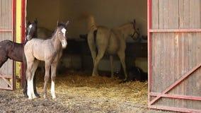 Lipizzanerveulennen en paarden stock footage
