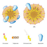 Lipoproteins of the blood. LDL and HDL, eps8 Stock Photography