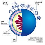 Liposoma convencional y Sterically-estabilizado Fotos de archivo libres de regalías