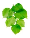 Lipowa gałąź z potomstwo zieleni liśćmi obrazy stock