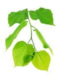 Lipowa gałąź z potomstwo zieleni liśćmi obraz stock