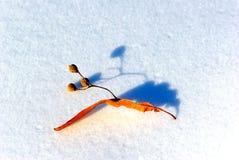 Lipowa roślina Fotografia Stock