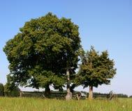 lipowi drzewa Zdjęcie Royalty Free