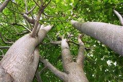 lipowi drzewa Obrazy Stock