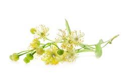 Lipowi kwiaty Obrazy Stock