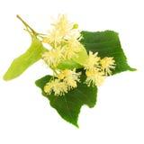 Lipowi kwiaty na białym tle fotografia stock