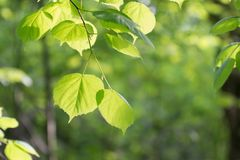 Lipowi liście w słońcu na tle zielony ulistnienie w lesie Obraz Stock