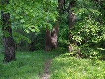 Lipowi liście w słońcu na tle zielony ulistnienie w lesie Obraz Royalty Free