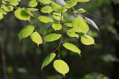 Lipowi liście w słońcu na tle zielony ulistnienie w lesie Obrazy Royalty Free