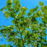 Lipowi okwitni?cia, kwitnie lipowych p?czki dzie? motyliego trawy sunny swallowtail lata fotografia royalty free