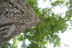 Lipowy drzewo Zdjęcia Stock
