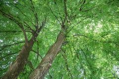 Lipowy drzewo Zdjęcie Royalty Free