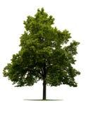lipowy drzewo Zdjęcie Stock