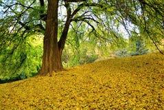 Lipowy drzewo na zboczu w jesieni Obraz Royalty Free