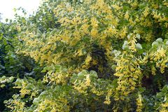 Lipowy drzewo w kwiacie i zieleni opuszcza Fotografia Royalty Free