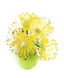 Lipowy kwiatu zbliżenie Obrazy Royalty Free
