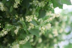 Lipowy kwitnący w wczesnym lecie obraz stock
