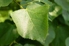 Lipowy liścia zakończenie z kroplami Zdjęcia Stock