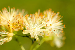 Lipowy pollen Fotografia Royalty Free