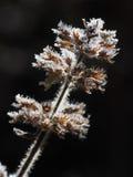 Lipped blommor för frost Fotografering för Bildbyråer