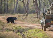 Lippenbär, der die Safari vehical aufpasst lizenzfreies stockfoto