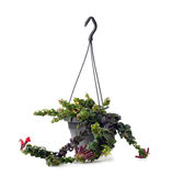 Lippenstift-Anlage mit Blumen Aeschynanthus-radicans Jack Lizenzfreie Stockbilder