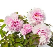 Lippenstift-Anlage mit Blumen Aeschynanthus-radicans Jack Stockfoto