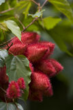 Lippenstift-Baumblüten Stockfoto