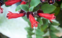 Lippenstiftbloemen Royalty-vrije Stock Foto