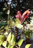 Lippenstiftwijnstok Stock Foto