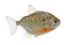 Lippincottianus Metynnis (επισημασμένο ασημένιο δολάριο) Στοκ εικόνες με δικαίωμα ελεύθερης χρήσης