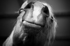 Lips. Horse head look from under Stock Photos