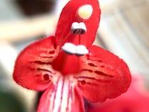 Lipstick flower. Valentine's day, sweet, spring, flower Stock Image