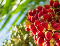 Lipstick palm under sunlight. Close up ripen fruit of lipstick palm or sealing-wax palm or raja palm under sunlight royalty free stock photography