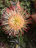 Lipstick Pincushion. South African Protea family Stock Photo