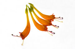 Lipstick Plant Blooms. Four flowering blooms of a lipstick or Aeschynanthus speciosus plant showing anthers and filaments at ends of orange petals royalty free stock photography