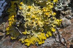 Liquen amarillo Fotos de archivo libres de regalías