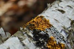 Liquen amarillo en la ramificación de árbol Foto de archivo