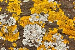Liquen amarillo en un árbol Foto de archivo libre de regalías
