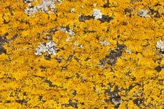 Liquen amarillo en un árbol Imagen de archivo libre de regalías