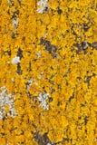 Liquen amarillo en un árbol Fotos de archivo libres de regalías