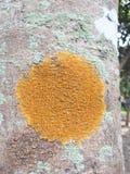 Liquen Crustose en el árbol Imagen de archivo