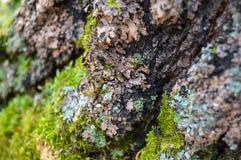 Liquen en la corteza de un árbol, primer imagen de archivo