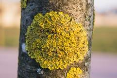Liquen en la corteza del árbol Imagen de archivo