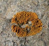 Liquen en la piedra 1 Foto de archivo libre de regalías